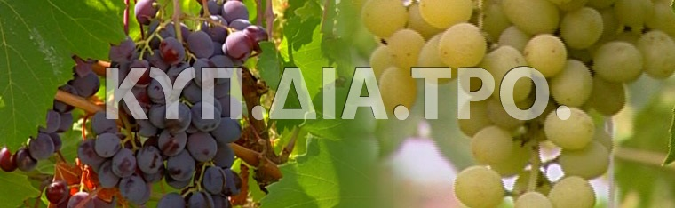 Commandaria is made exclusively from two types of indigenous Cyprus grapes: Xynisteri and Mavro. 